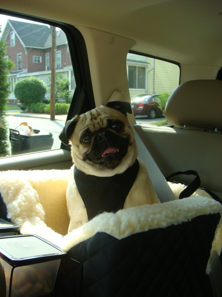 Ensuring your dog is properly restrained will make car travel safer.