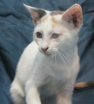 Anabelle is a kitten who was adopted from Smitten with Kittens.