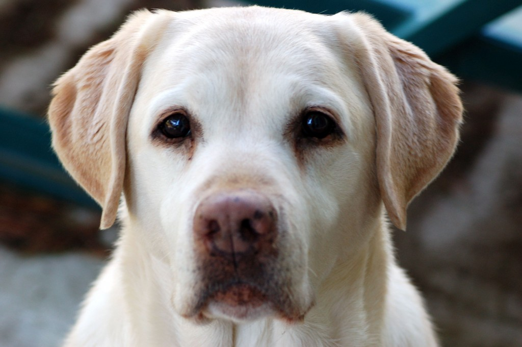 Dog blood-donors help save the lives of other dogs in need.