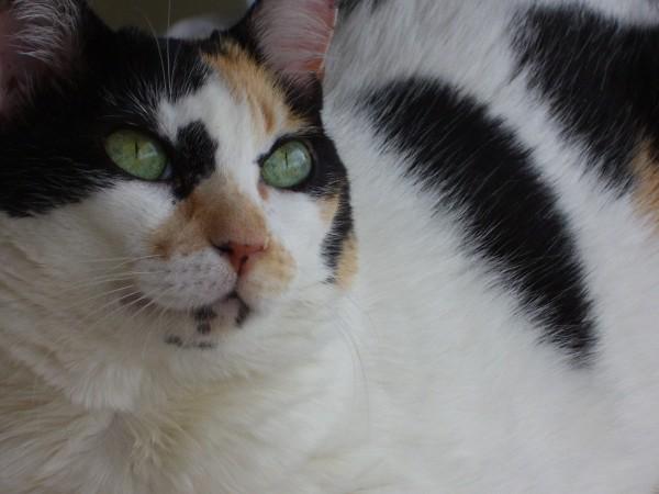 Calico cats have a unique tri-color coat pattern.