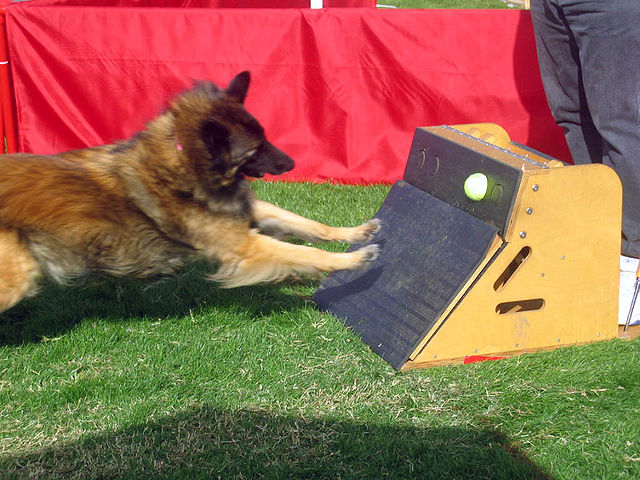 In Flyball, a dog must trigger the release of a ball from a spring-loaded box.