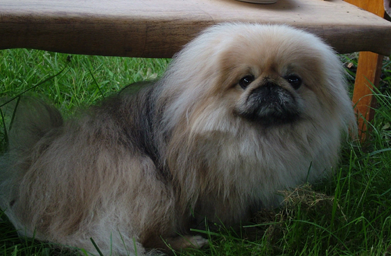The Pekingese is an ancient breed originating in China.