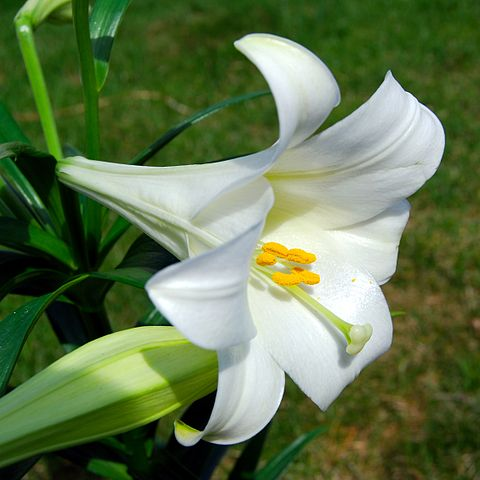 Lilies are extremely toxic to cats
