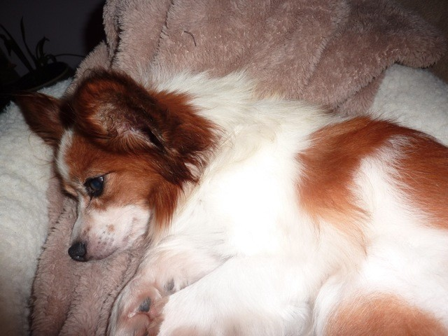 Buddy, a Papillon, was rescued from a puppy mill