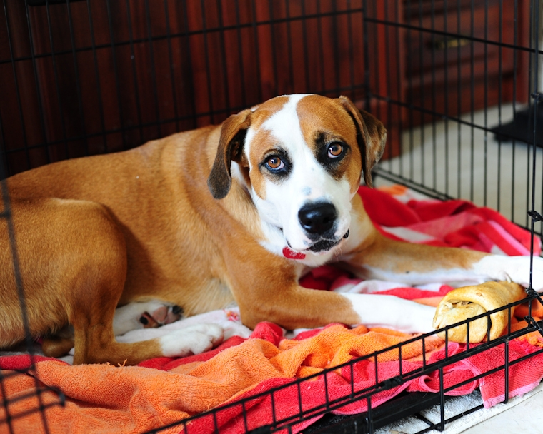 Ginger is a young, female bulldog-hound mix looking for a forever home