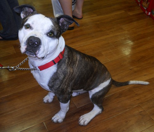 Jojo is a handsome American Bulldog mix
