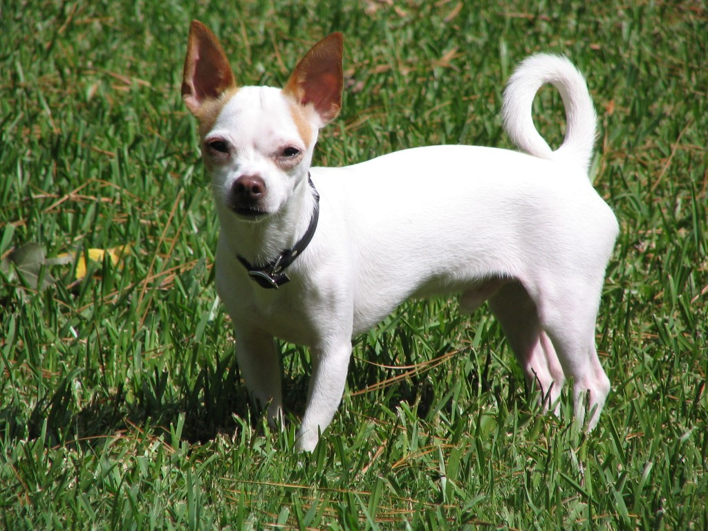 The Chihuahua is the smallest of all dog breeds