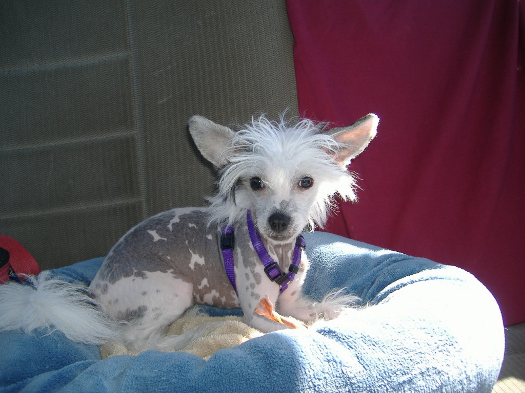 The Chinese Crested comes in Hairless or Powderpuff varieties