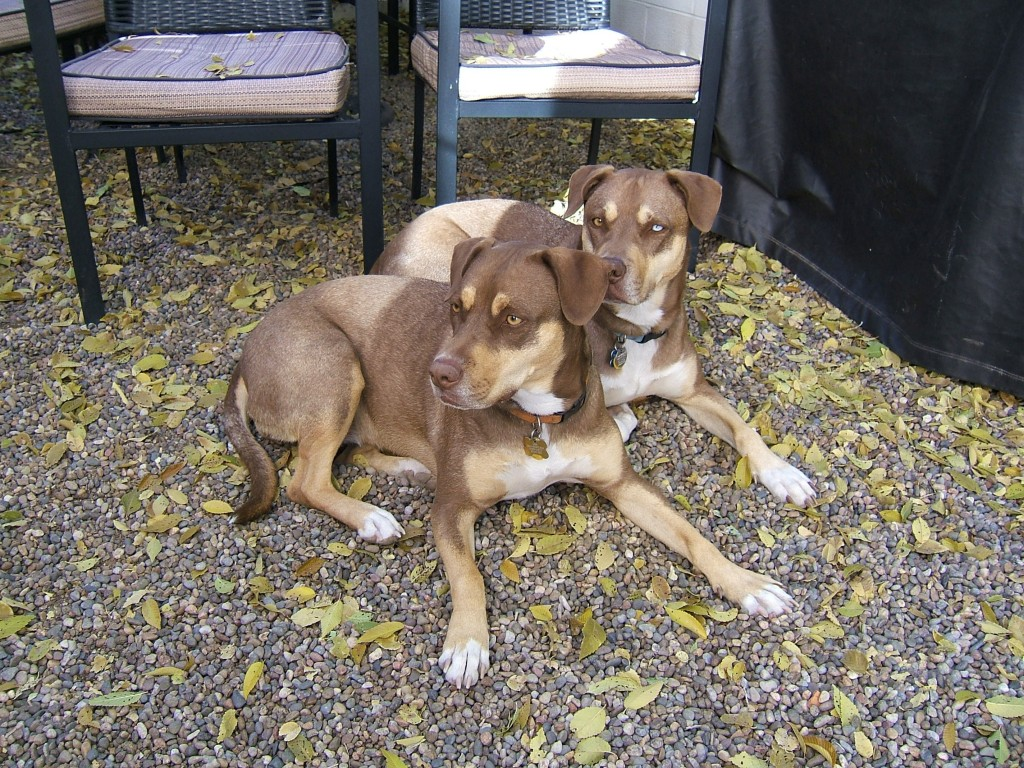 Thelma and Louise are canine blood donors