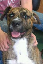 Charlie Brown is a boxer mix