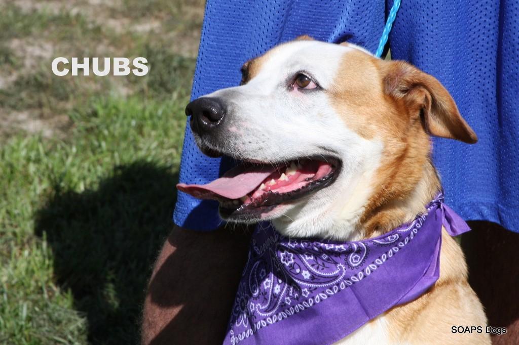 Chubby is a Collie/Labrador Retriever mix