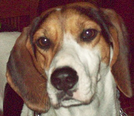Foxy Lady is an American Foxhound