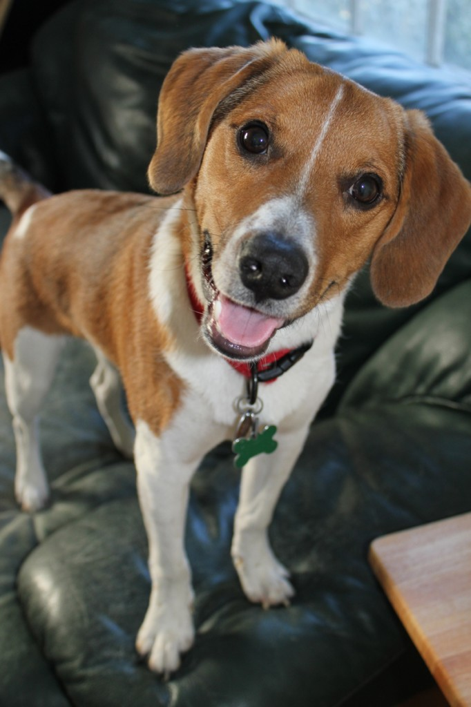 Rascal is an adorable Beagle-mix