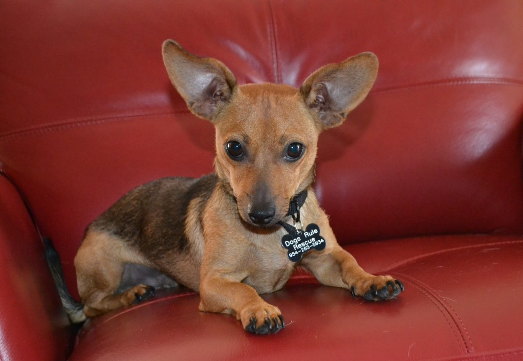 Tribiline is 10 month-old male Doxie/Jack Russell Mix