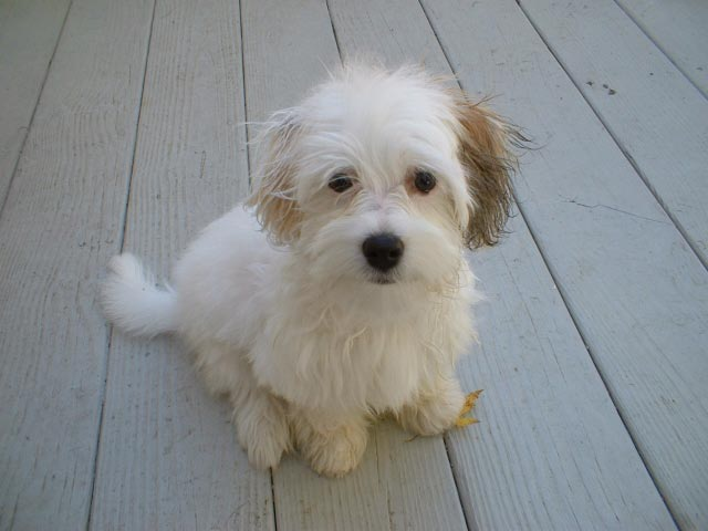 The Havanese is the National dog of Cuba