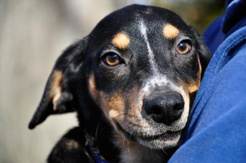 Callie is available for adoption through All Dogs' Heaven