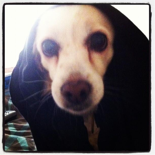 Pedey is an American Eskimo-Cocker Spaniel originally rescued from Puerta Rico