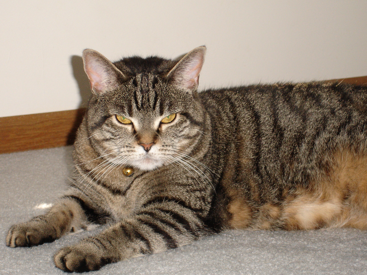 The Types Of Tabby Coat Patterns 1 800 Petmeds Cares