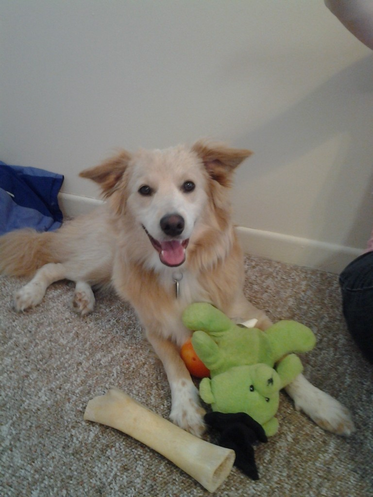 Kody is an adorable Border Collie/Eskimo mix