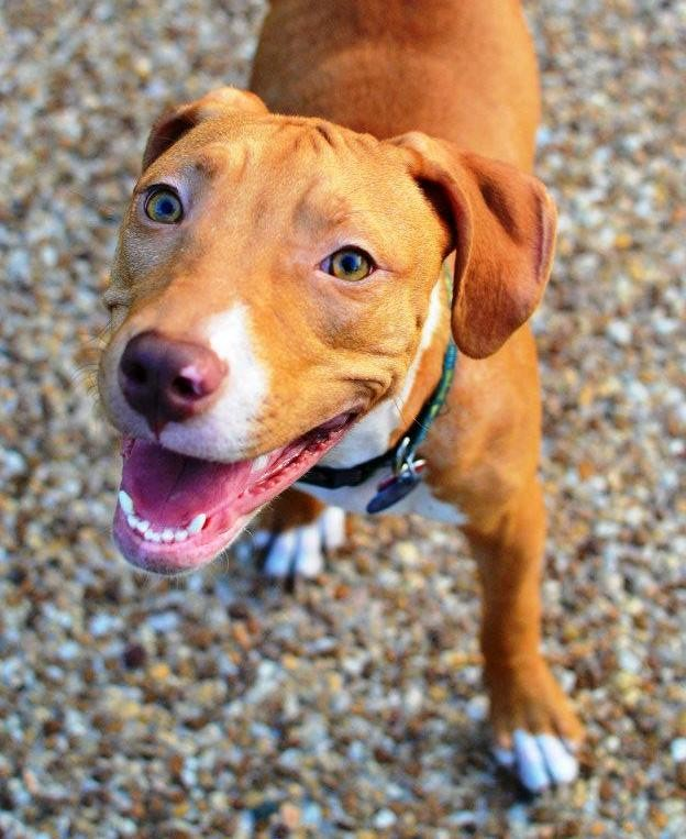 Little Miss Sunshine is a gorgeous red and white American Pit Bull Terrier girl