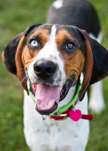 Chance is an adult, male coonhound