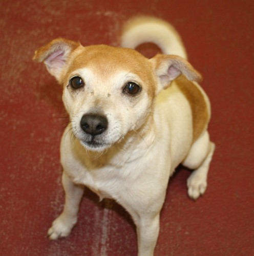 Cindy is a Chihuahua/Jack Russell Terrier mix