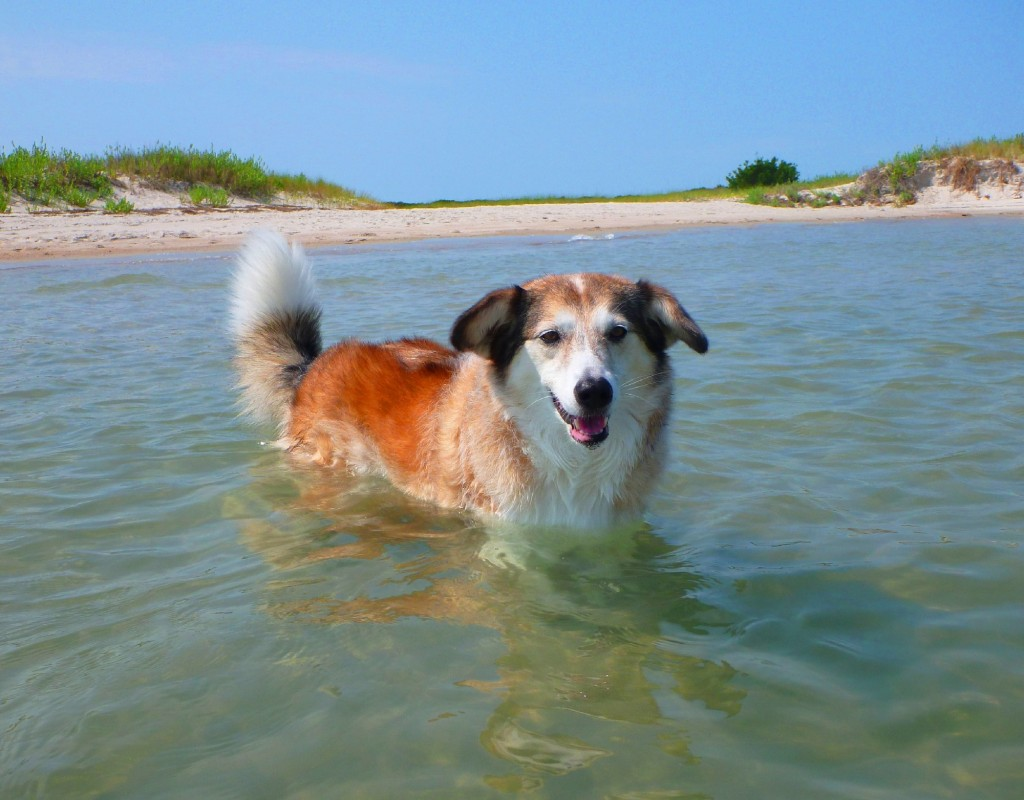 Chloe enjoys chasing fiddler crabs at the beach