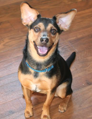 Harrison is a dacshund/terrier mix
