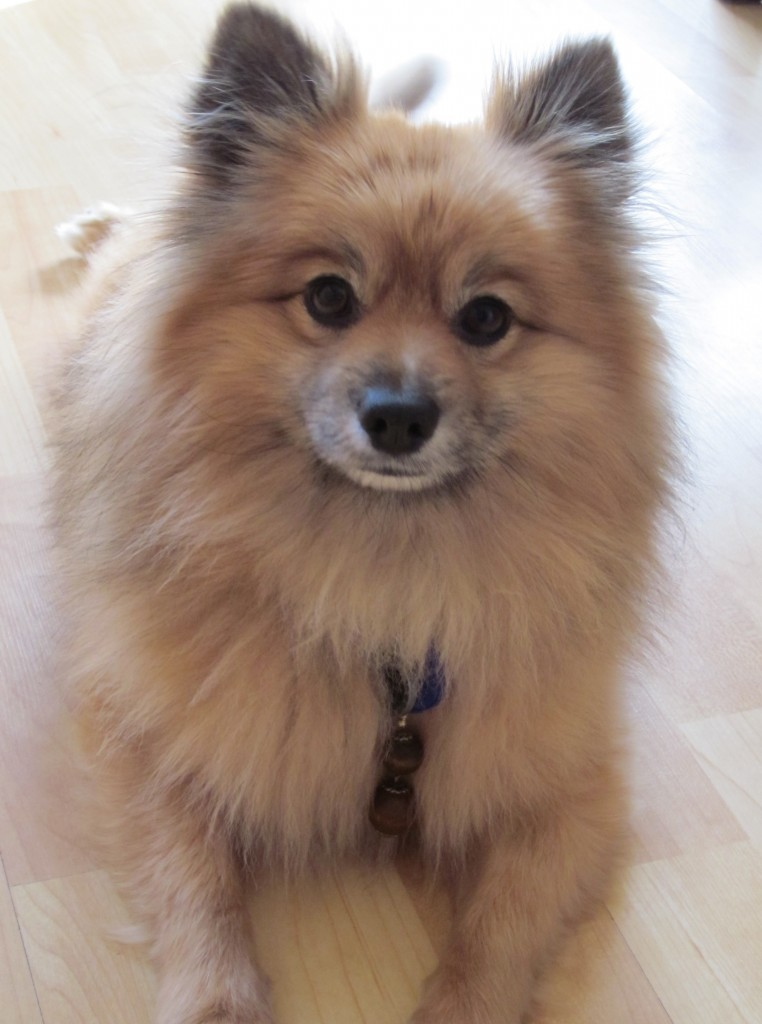 Teddy is a loving and sweet Pomeranian