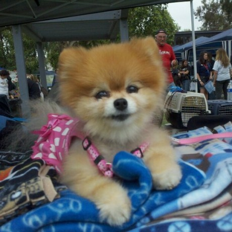 Bella Pomeranian
