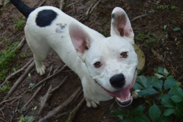 Spot is an adoptable dog in OK!