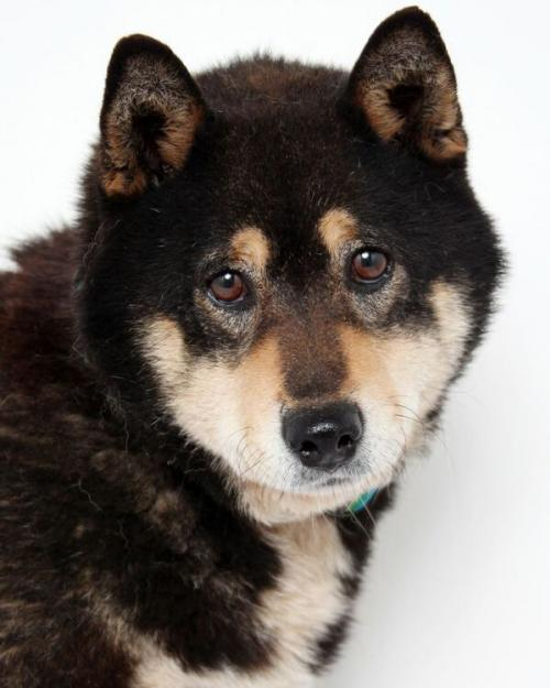 Mister the Shiba Inu is up for adoption in MN.