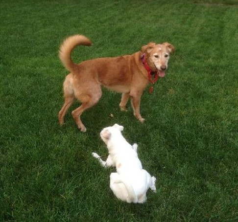 Lily with a dog friend in her foster home.