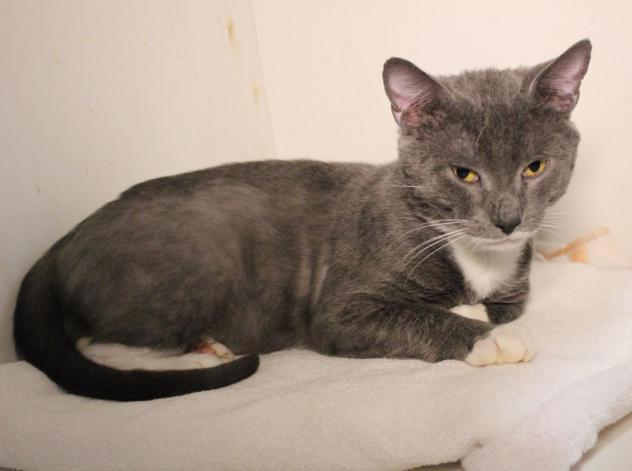 Tolouse, an adoptable 6-year-old cat