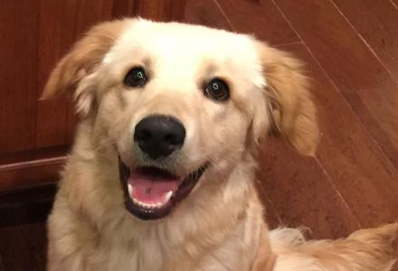 Gunner, an adoptable Golden Retriever puppy.