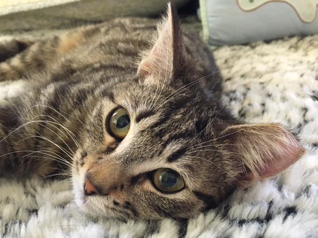 Cinnamon, an adoptable kitten in Florida.