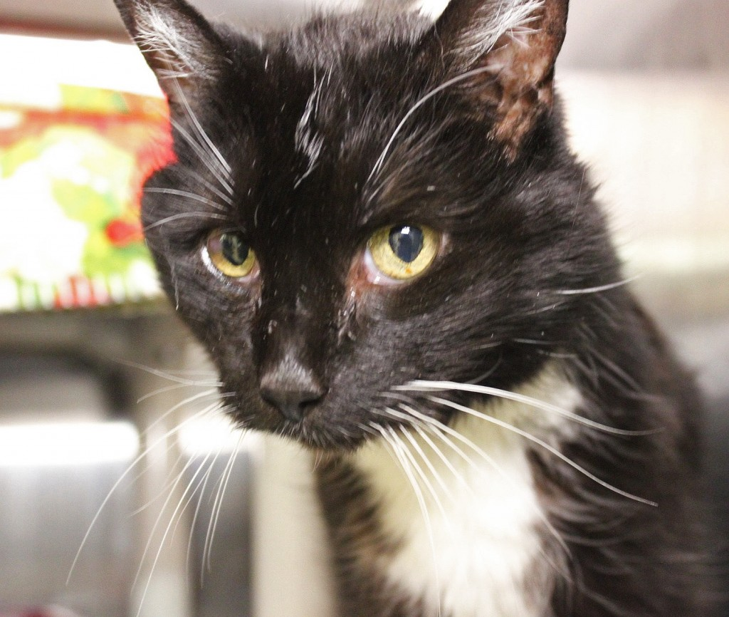 Heidi is a senior cat looking for a home in CT.