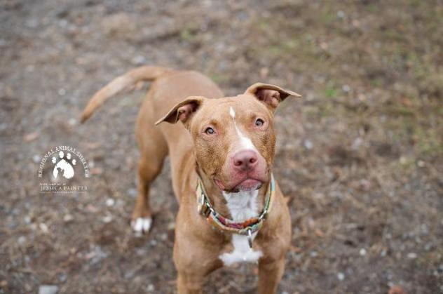 Ginger is an adoptable pit bull terrier.