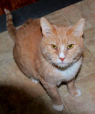 Oliver is an adoptable cat in Conn.!