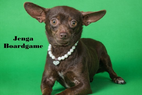Jenga is a young Chihuahua looking for a home.