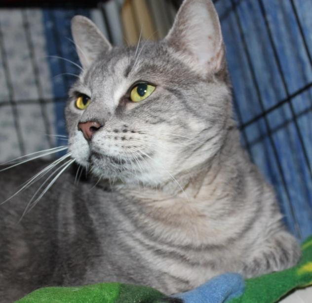 Precious, a senior gray cat looking for a home in Connecticut.