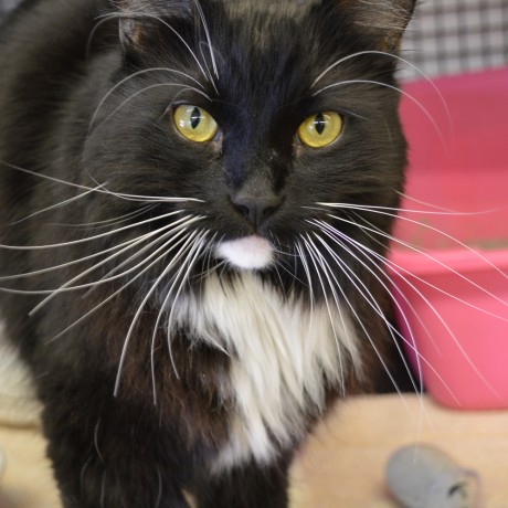 Sox, a 6-year-old cat looking for a home in Arizona.