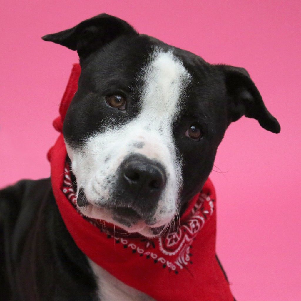 Vinnie, a black and white pit bull mix looking for a home in S.C.