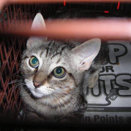 A feral cat trapped by C5 as part of a TNR program.