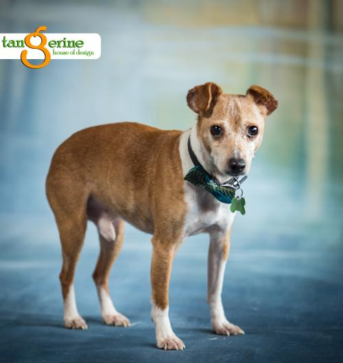 Hans, an adoptable dog at Twin Cities Pet Rescue