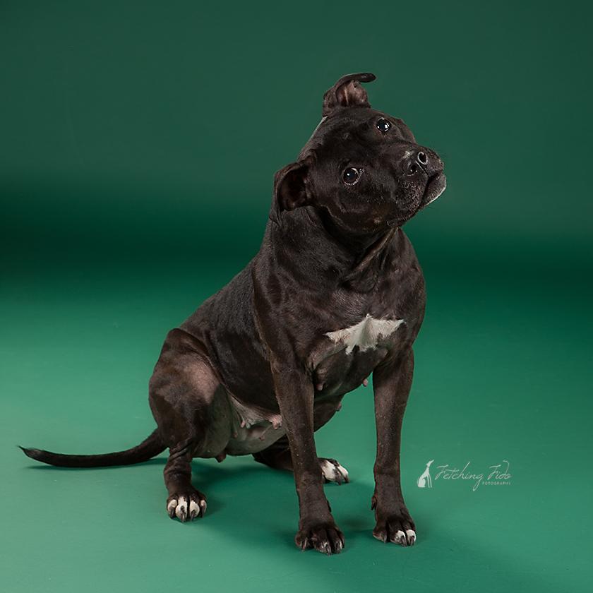 Gidget, a black pit bull available for adoption through Love-A-Bull