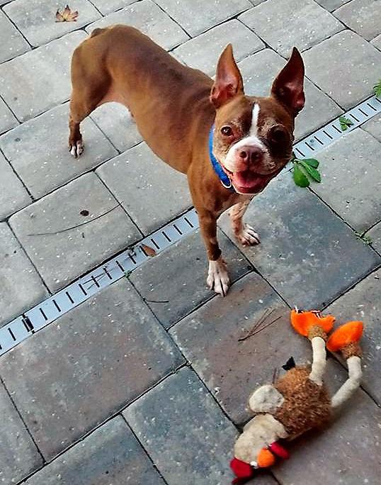 Rocco Duval, an adoptable Boston terrier at BTRFL