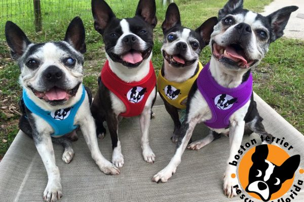 Boston Terrier Rescue of Florida's entry photo to the 2016 National Shelter Appreciation Week Contest
