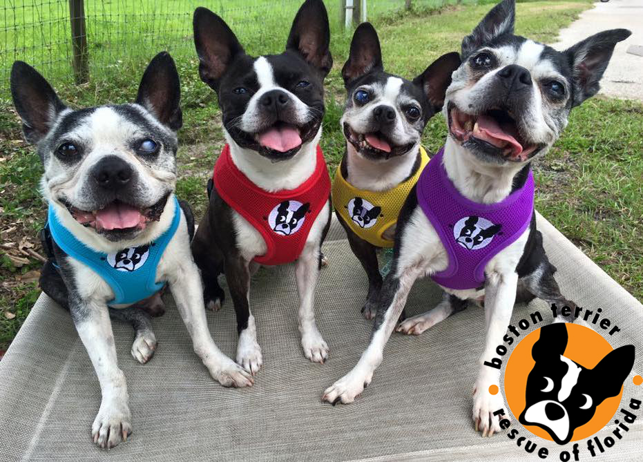Boston Terrier Rescue of Florida's entry photo to the 2016 National Animal Shelter Appreciation Week Contest