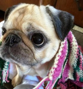 Olive is in Pacific Pug Rescue's Furever Foster program